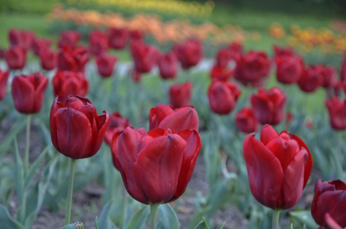 Tulpen_red